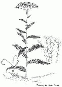 Origins of Thyroid Disease - Yarrow - achillea_millefolium