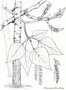Guidelines for Harvesting Seaweed Balsam Poplar - populus_balsamifera