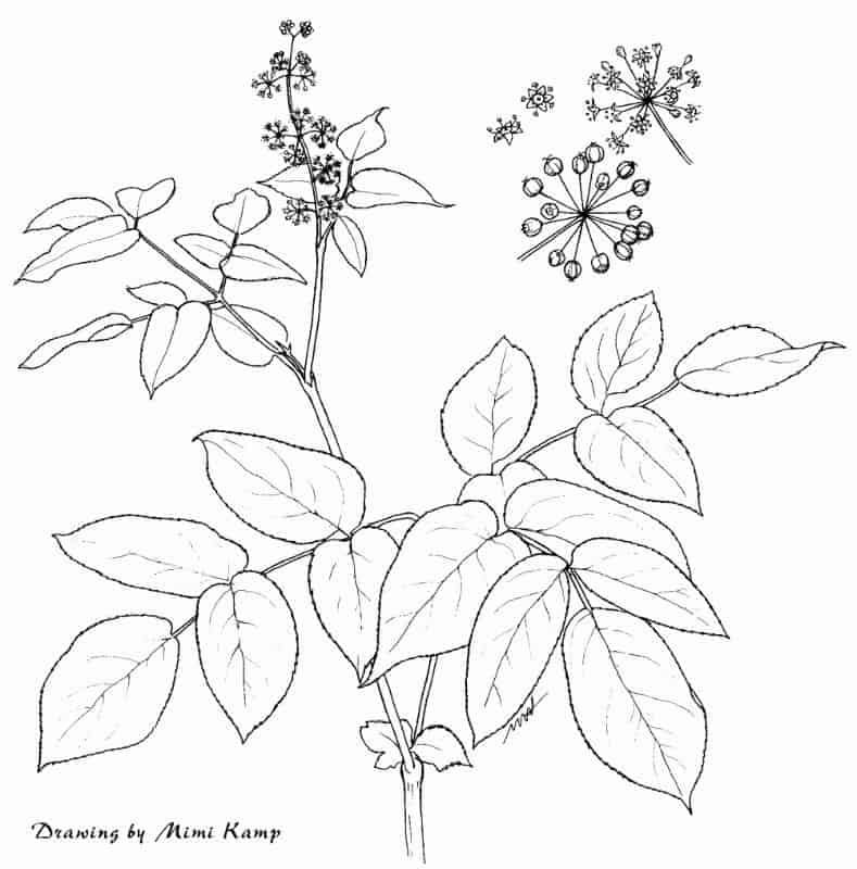Origins of Thyroid Disease - California Spikenard - aralia_californica