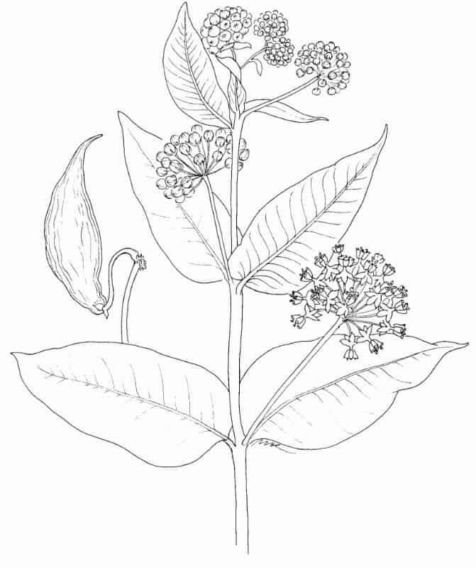 Seaweed Facts - Milkweed - asclepias_erosa