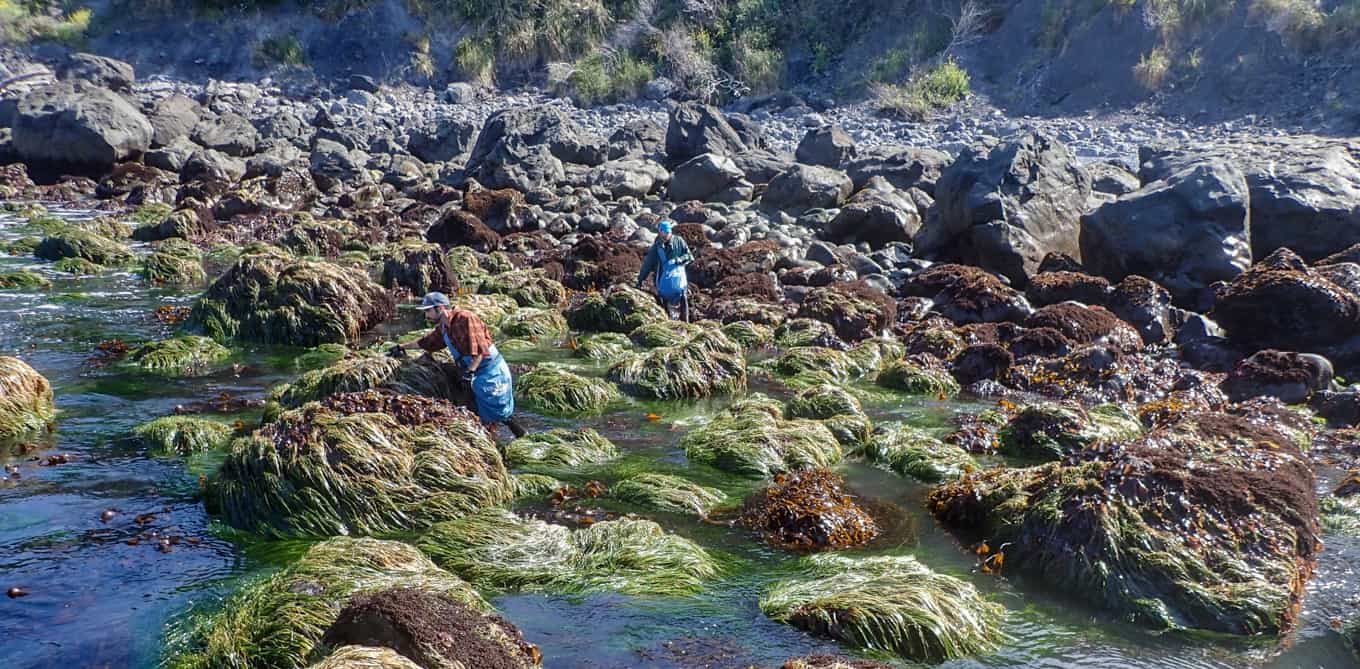 Seaweed Harvest on Rocks