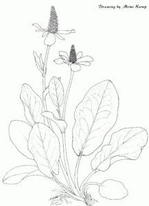 Medicinal Uses of Seaweed - Yerba Mansa - anemopsis