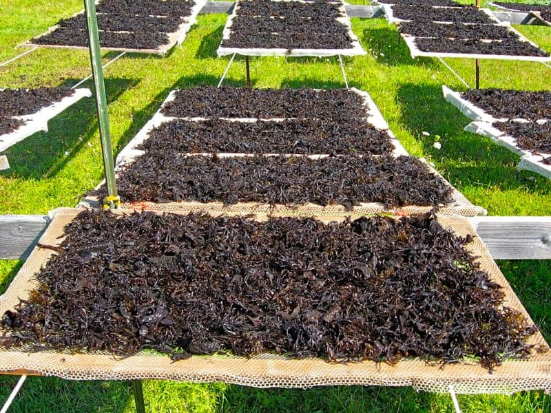 Gigartina Seaweed Drying on Racks