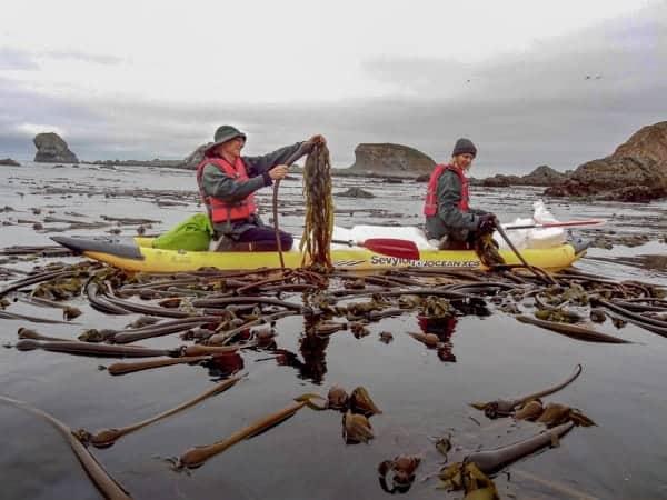 James and Arek Harvesting Bull Kelp