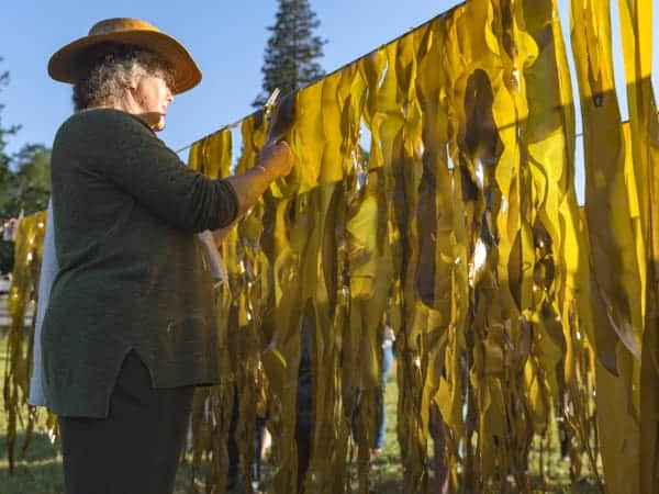 Kelp Fronds Drying on Rack