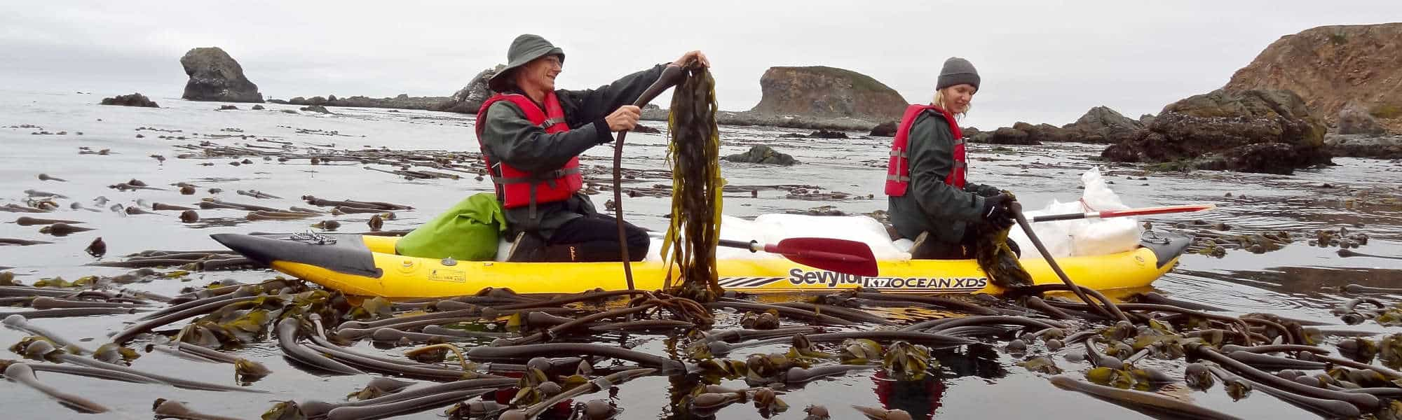 Hand harvesting wild seaweed from a boat