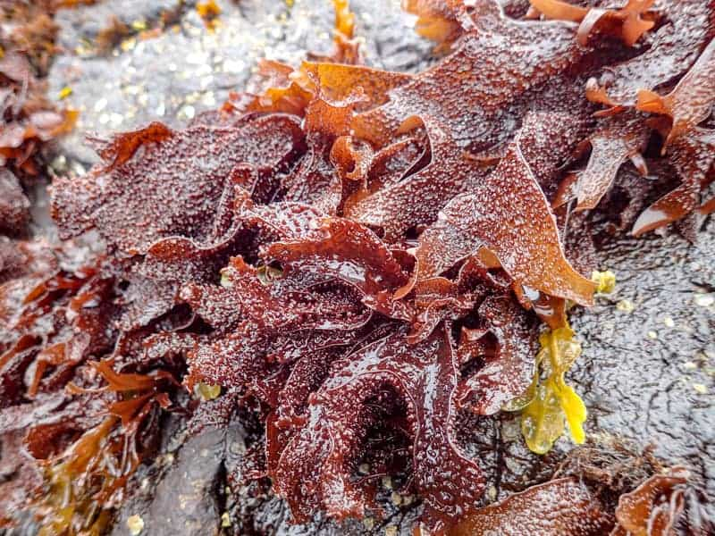 Gigartina Seaweed on Rock (Gigartina papillata)