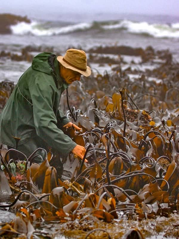James harvesting Kombu seaweed 1