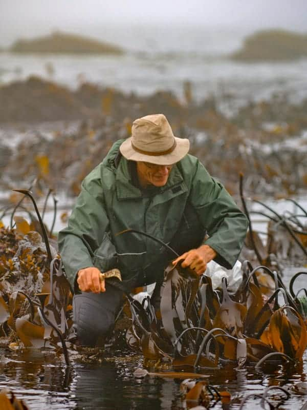 James harvesting Kombu seaweed 2