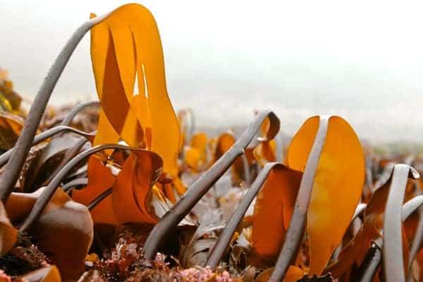 Kombu Seaweed in the Wild
