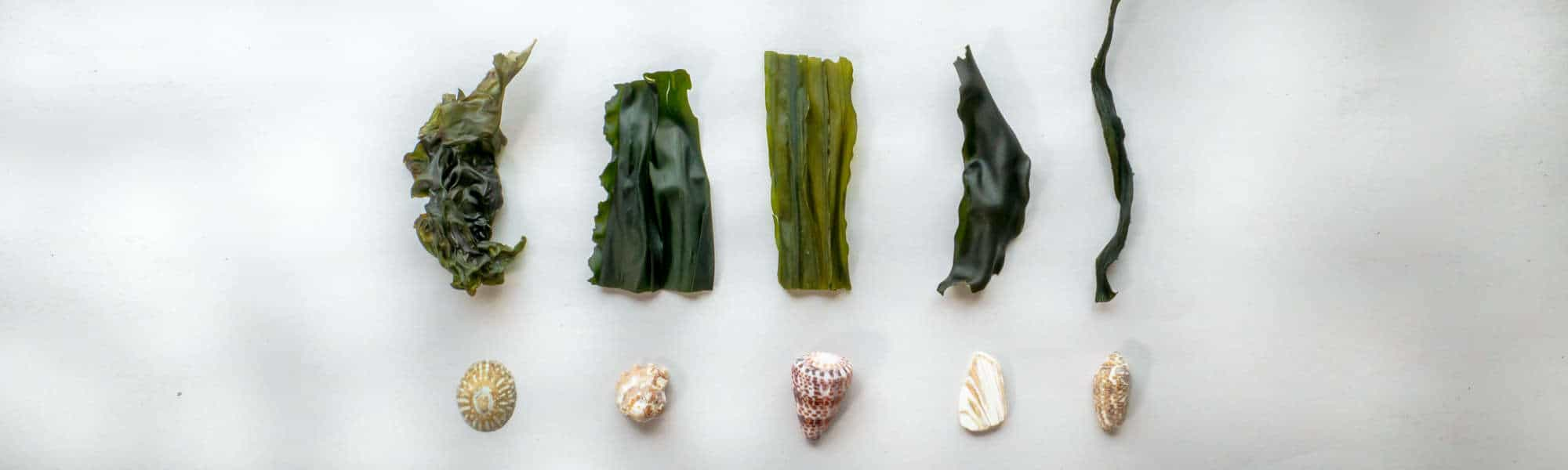 Whole Seaweeds Header - Nori, Wakame, Kelp, Kombu, Sea Palm
