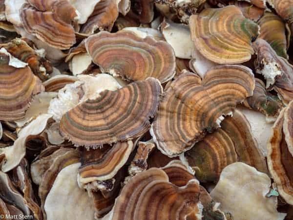 Turkey Tail Mushroom (Trametes versicolor)