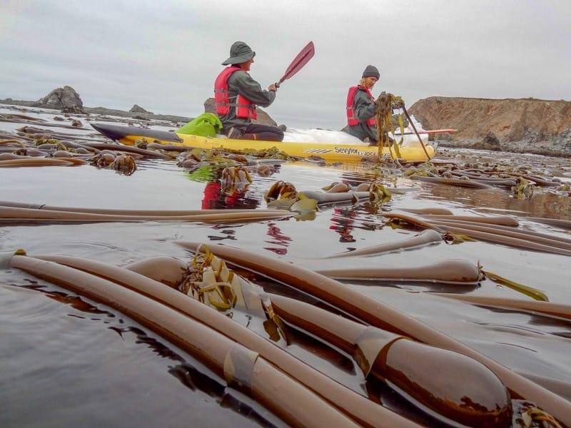 Harvesting Kelp Fronds 3