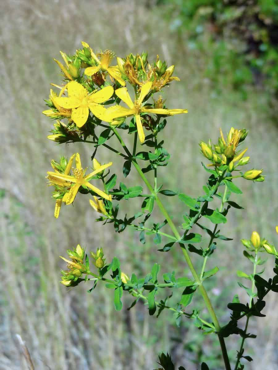 St.-Johns-Wort-in-early-flower